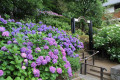 See Tamagawadai Park's Hydrangeas at their Best