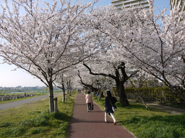 Cherry Blossoms in Ota City | Ota City Travel Official Guide