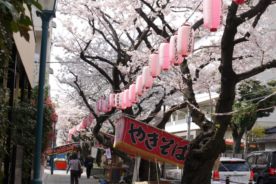 Cherry Blossoms in Ota City